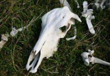 У Запоріжжі біля лікарні з'явилося кладовище коров'ячих кісток (відео)
